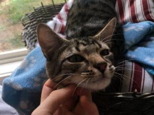 Kitten for Adoption: Ross