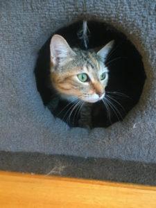 Kitten for Adoption: Roma